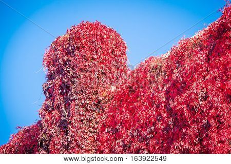 Red ivy on a building and chimney in the usa
