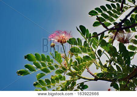 Delicate Pink Flowers Of Monkeypod Tree (albizia Saman) Or Rain Tree In Hawaii Against Blue Sky Back