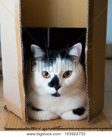 White Cat In A Cardboard Box