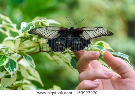Asian Swallowtail (papilio Lowi)