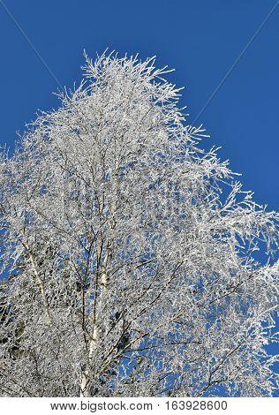 Frosted birch tree blue sky. Birch. Winter.