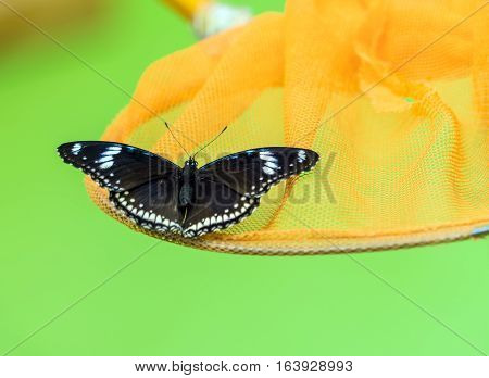 Blue Moon Butterfly (hypolimnas Bolina)