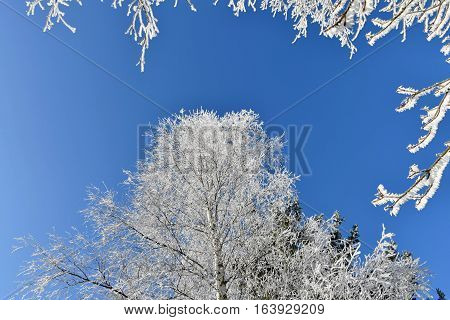 Frosted birch tree icy branches blue sky. Birch.
