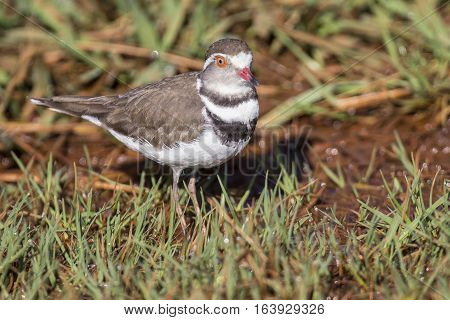 Three banded plover standing in short wet green grass