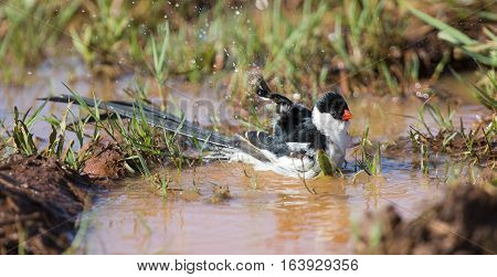 Pin-tailed Whydah washing in a pool of brown rain water