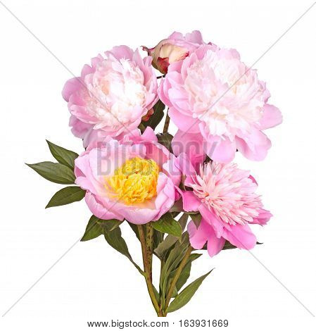 Stem leaves and several flowers of pink white and yellow peonies isolated against a white background