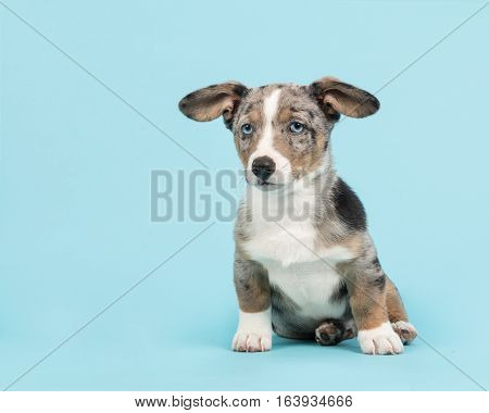 Cute blue merle welsh corgi puppy with blue eyes and hanging ears sitting facing the camera on a blue background