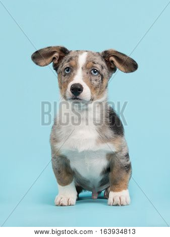 Cute blue merle welsh corgi puppy with blue eyes and hanging ears sitting facing the camera on a blue background in a vertical image