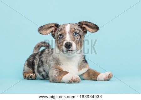 Cute blue merle welsh corgi puppy with blue eyes and hanging ears lying down facing the camera seen from the side on a blue background