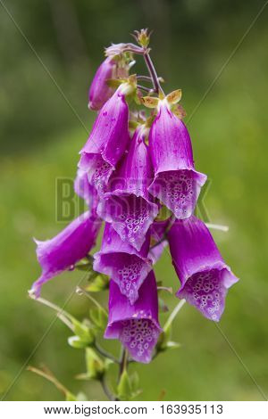 Close-up of a Foxglove Digitalis purpurea in bloom a popular flower in Scotland
