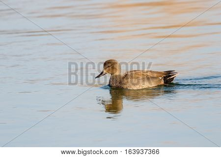 Gadwall (Anas strepera) on lake during Winter