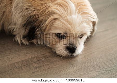 Close Up Of Cute White Shih Tzu Dog Lying On Wooden Floor