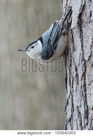 A white-breasted nuthatch perched on a tree.