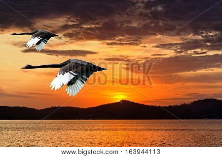 Two Black Swans (Cygnus atratus) flying in a vivid orange sky at daybreak. Sunrise Landscape over water with colourful water reflections. Lake Macquarie New South Wales Australia.