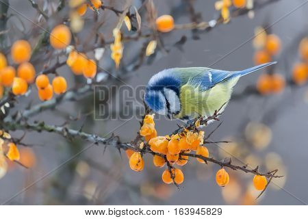 Blue tit sitting on the branch of sea-buckthorn in winter day and peck berries