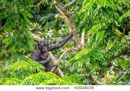 Bonobo in natural habitat on Green natural background. The Bonobo ( Pan paniscus) called the pygmy chimpanzee. Democratic Republic of Congo. Africa