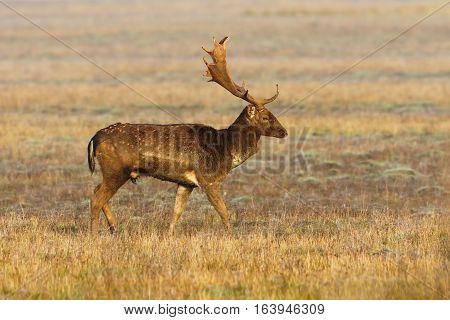 beautiful wild fallow deer buck ( Dama ) on rutting season