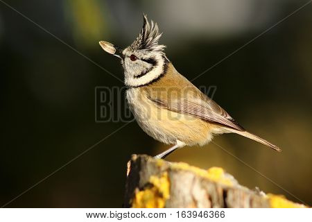european crested tit eating sunflower seed ( Lophophanes cristatus )