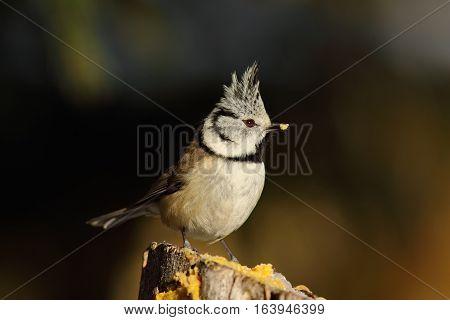 curious crested tit on garden lard feeder for wild birds