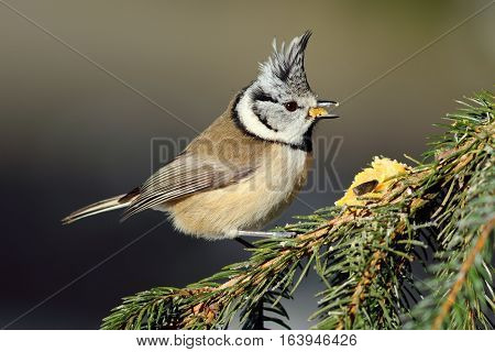 cute european crested tit standing on spruce branch ( Lophophanes cristatus )