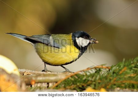 great tit at bird feeder eating  seed ( Parus major )
