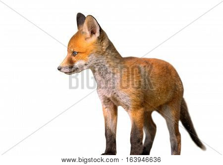 young european fox ( Vulpes ) isolated over white background