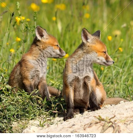 two red fox brothers resting near the burrow ( Vulpes )