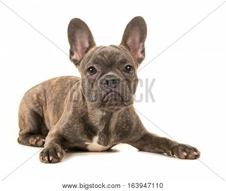 Cute french bulldog lying on the floor with paws spread wide facing the camera isolated on a white background