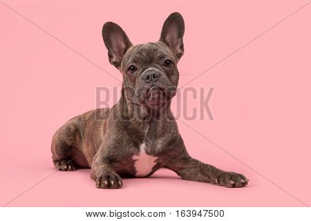 Cute french bulldog lying down on a pink background facing the camera