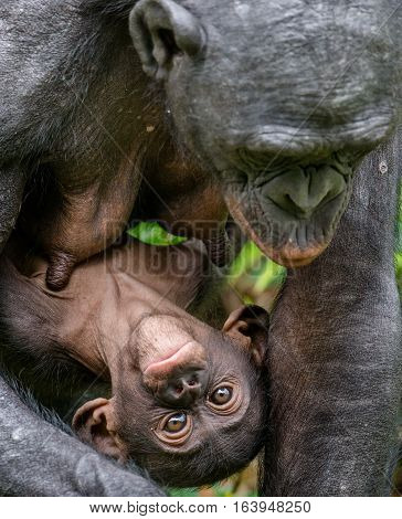 Close Up Portrait Mother And Cub Of Bonobo In Natural Habitat. Green Natural Background. The Bonobo