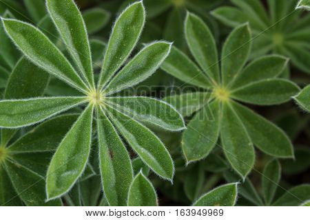 Vibrant Green Lupine Leaves