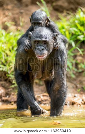 Close Up Portrait Of Bonobo Cub On The Mother's Back In The Water. Natural Habitat. The Bonobo ( Pan