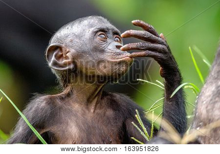 Close Up Portrait Of Bonobo Cub  In Natural Habitat. Green Natural Background. The Bonobo ( Pan Pani