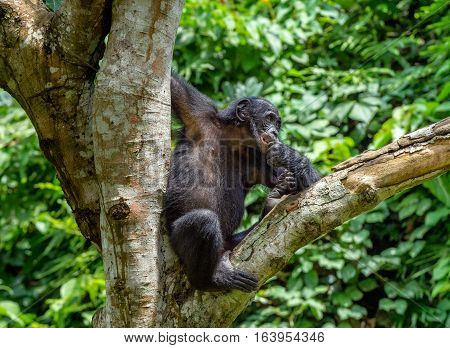 Close Up Portrait Of Bonobo Cub On The Tree In Natural Habitat. Green Natural Background. The Bonobo