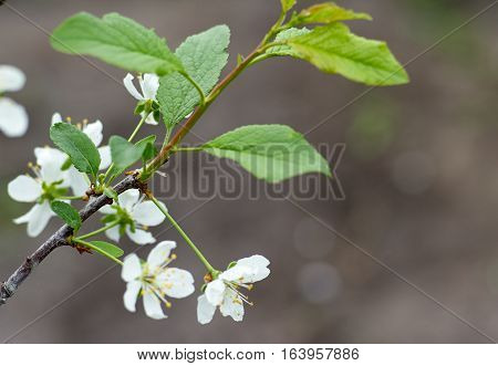 Beautiful blossoming cherry tree branch with flowers and leaves in the spring time