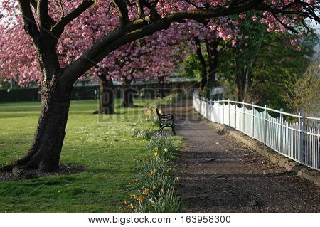 Cherry Blossom Walkway in Riverside, Stirling, Scotland