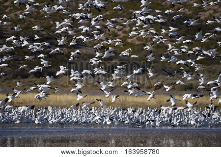 Snow Geese at Pond in New Mexico