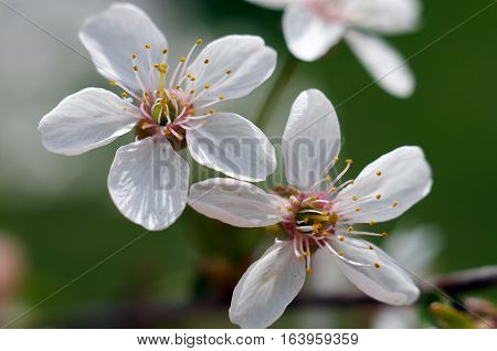 A beautiful flower of the blossoming cherry tree in the spring time