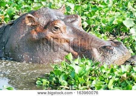 Hippopotamus Head wallowing in a cabbage filled lagoon in South Luangwa, Zambia, Southern Africa