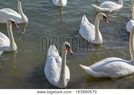 A Swarm Of Beautiful White Swans On The River