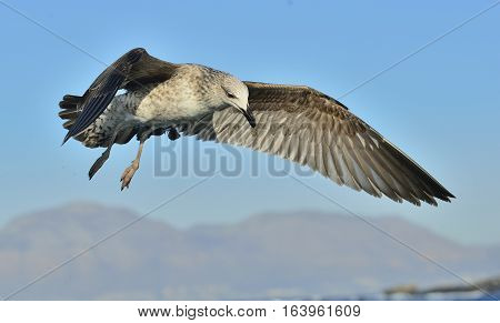 Flying Juvenile  Kelp Gull (larus Dominicanus), Also Known As The Dominican Gull And Black Backed Ke