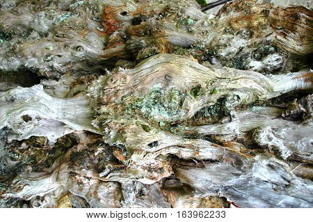 The knarled old pattern of a yew tree trunk