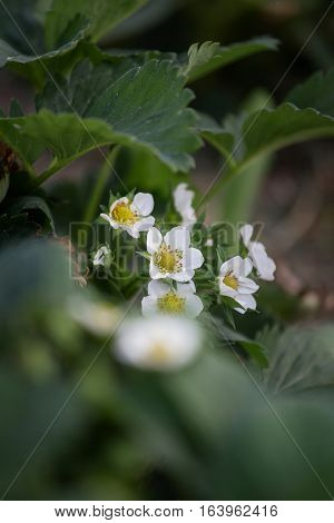 close up strawberry flowers and leaves in daylight