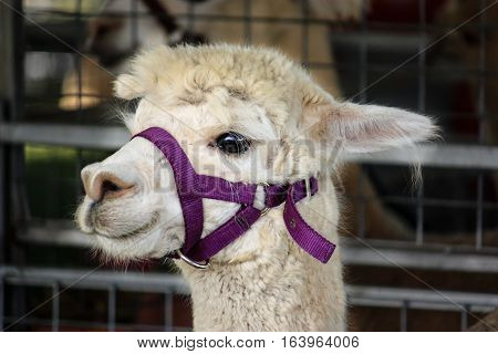 White alpaca llama farm animal wearing head harness at agricultural show