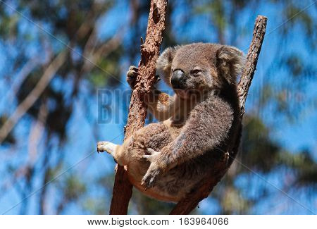 Australian native koala resting in fork of tree branch against blue sky