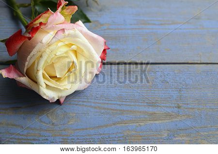 Rose on blue wooden background for Valentine's Day with copy space.Valentine rose.St.Valentines Day,14 february concept.Selective focus
