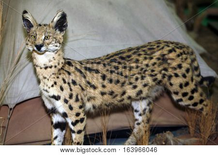 Close up of an adult serval in front of a tent