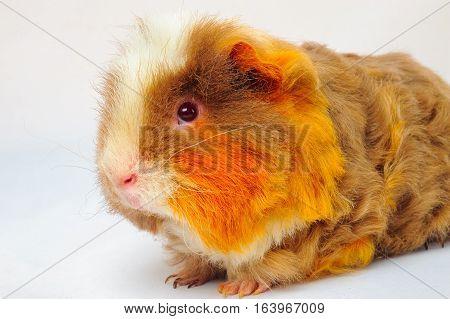 One guinea pig merino on white background