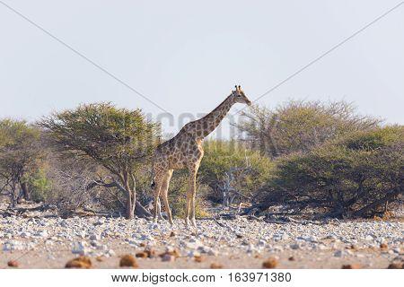 Giraffe Walking In The Bush On The Desert Pan. Wildlife Safari In The Etosha National Park, The Main