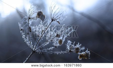 Frozen plant with rime winter january